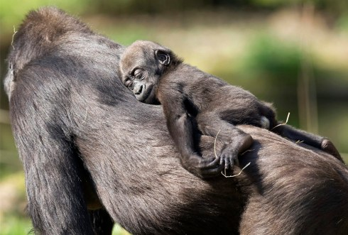 gorilla sleeps on mums back